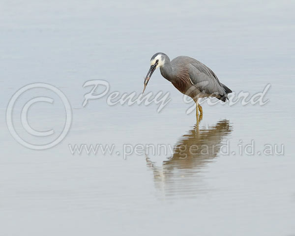 White_faced_Heron_WFT_1